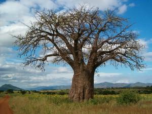 baobab-1222166_1280